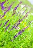 Flores salvajes púrpuras Imagen de archivo libre de regalías