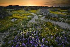 Flores salvajes que florecen en el monumento nacional llano de Carrizo en primavera foto de archivo