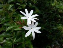 Flores salvajes reales de Pichcha de la naturaleza del pueblo Imagen de archivo