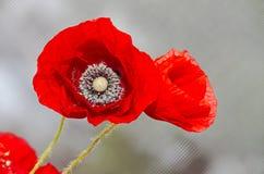 Flores salvajes rojas de los rhoeas del Papaver, amapola de campo de maíz con los brotes, Fotos de archivo
