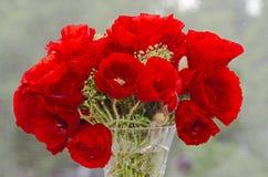 Flores salvajes rojas de los rhoeas del Papaver, amapola de campo de maíz con los brotes, Imagen de archivo libre de regalías