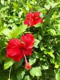 Flores salvajes rojas del hibisco Imagen de archivo libre de regalías