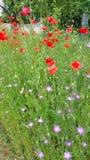 Flores salvajes rojas y rosadas Fotografía de archivo