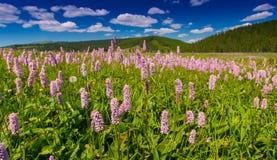 Flores salvajes rosadas en un paisaje del prado Fotos de archivo libres de regalías