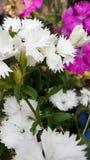 Flores salvajes rosadas y blancas hermosas Imagen de archivo libre de regalías