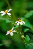 Flores salvajes y abeja Imagen de archivo