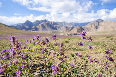 Flores salvajes y cordillera en el fondo Imagen de archivo