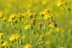 Flores salvajes y una abeja Imagen de archivo libre de regalías