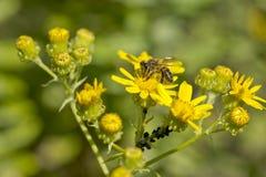 Flores salvajes y una abeja Foto de archivo libre de regalías