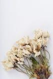 Flores secadas da cereja Imagens de Stock