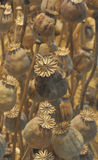 Flores secadas de la amapola. Fotografía de archivo