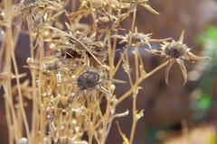Flores secadas de la madera muerta de la manzanilla amarilla en un fondo vegetal fotografía de archivo