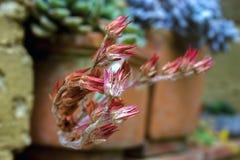 Flores secadas del echeveria en un pote imagen de archivo
