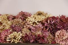 Flores secadas del zinnia Fotos de archivo libres de regalías