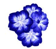 Flores secadas em azul & em branco Imagem de Stock Royalty Free