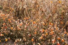 Flores secas Fotografia de Stock