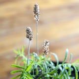 Flores secas da alfazema no fundo de madeira Foco selecionado nas flores Fotografia de Stock