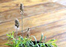 Flores secas da alfazema no fundo de madeira Foco selecionado nas flores Imagens de Stock