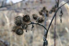Flores secas de la bardana en último cierre del otoño para arriba imágenes de archivo libres de regalías