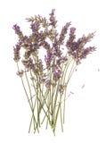 Flores secas de la planta de la lavanda aisladas en blanco Foto de archivo libre de regalías
