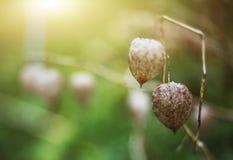 Flores secas de los physallis a partir del verano del año pasado Imagenes de archivo
