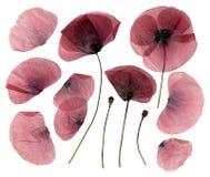 Flores secas, pressionadas da papoila Fotografia de Stock Royalty Free