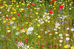 Flores selvagens. Imagens de Stock