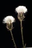 Flores selvagens Fotografia de Stock