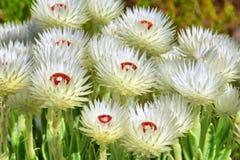 Flores selvagens africanas fotografia de stock