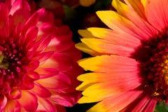 Flores selvagens alaranjadas e cor-de-rosa Imagens de Stock Royalty Free