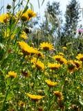 Flores selvagens amarelas Imagem de Stock Royalty Free