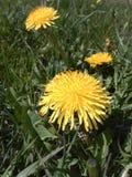 Flores selvagens amarelas Fotos de Stock Royalty Free