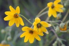 Flores selvagens amarelas Foto de Stock