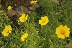 Flores selvagens amarelas bonitas Foto de Stock Royalty Free