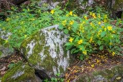 Flores selvagens amarelas brilhantes junto com a folha verde das folhas que cresce em pedras musgosos em uma floresta imagens de stock