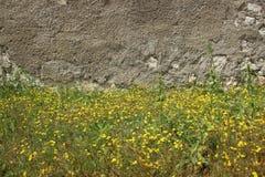Flores selvagens amarelas de brotamento e paredes velhas imagem de stock