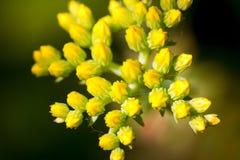 Flores selvagens amarelas na floresta Foto de Stock Royalty Free