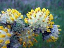 Flores selvagens amarelas que começam florescer, Lituânia Fotografia de Stock Royalty Free