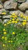 Flores selvagens amarelas vibrantes Imagens de Stock Royalty Free