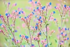 Flores selvagens azuis pequenas no fundo verde Fotografia de Stock