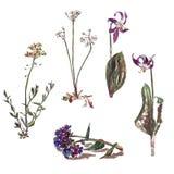 Flores selvagens: Barbarea, Androsace, sibiricum do Erythronium, Pulmonaria ilustração stock