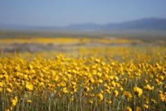 Flores selvagens bonitas: Amarelo Fotos de Stock Royalty Free