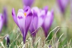 Flores selvagens bonitas da mola Imagens de Stock