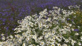 Flores selvagens bonitas no campo no verão video estoque