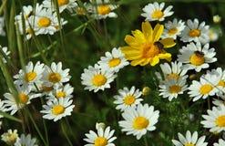 Flores selvagens brancas com insetos Fotografia de Stock Royalty Free