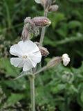 Flores selvagens brancas que começam florescer, Lituânia Foto de Stock