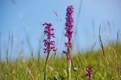 Flores selvagens cor-de-rosa da orquídea Fotografia de Stock Royalty Free