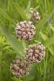 Flores selvagens cor-de-rosa. Silkweed. Syriaca do Asclepias fotos de stock royalty free