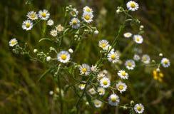 Flores selvagens, crisântemo selvagem no prado do verão foto de stock royalty free