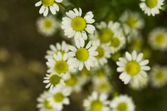 Flores selvagens da camomila de campo imagens de stock royalty free